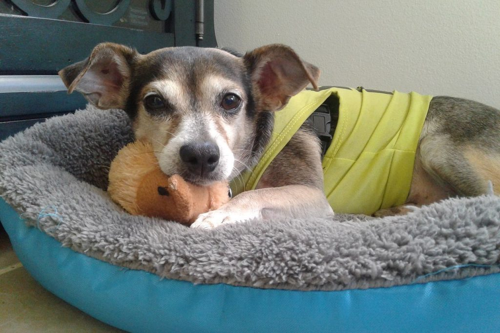 Dog essentials - Jack Russell Bed