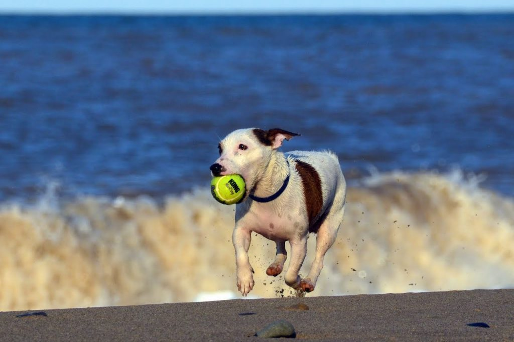 Jack Russell Exercise