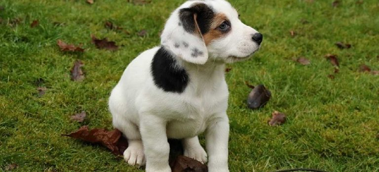 Jack Russell Mix Breeds