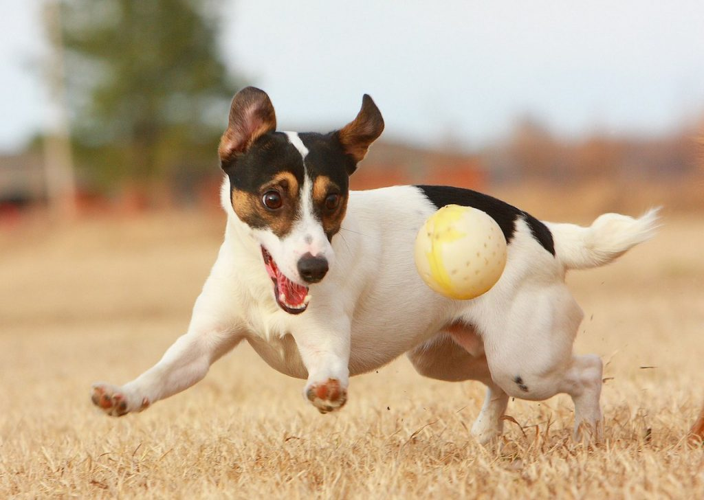 Jack Russell Toys