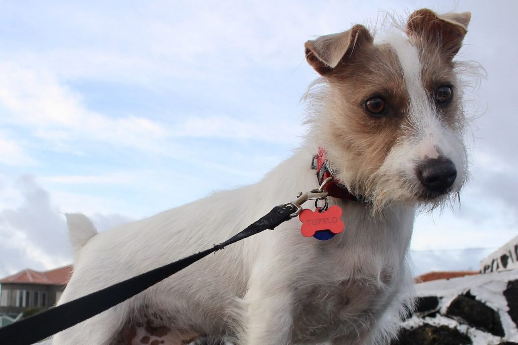 Rough coated Jack Russell