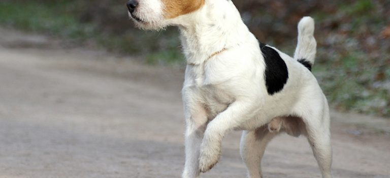 Jack Russell Size