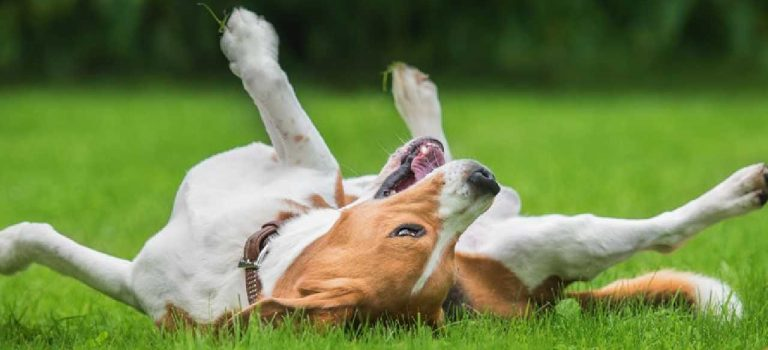 Why do Dogs Roll in Fox Poo