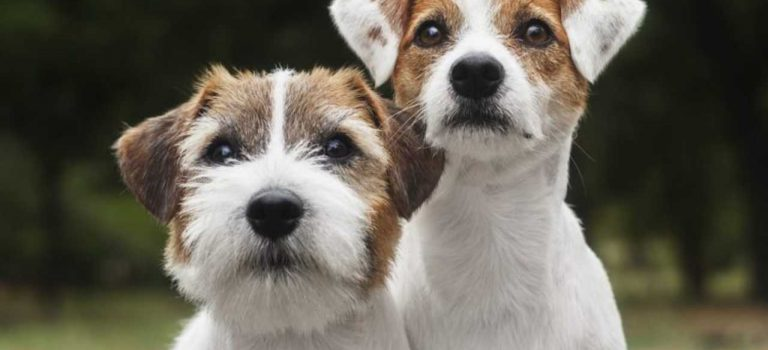 Having a Jack Russell as a Pet