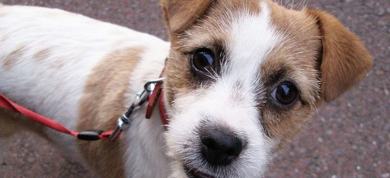 Jack Russell Obedience training