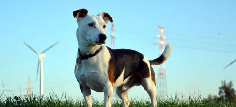 What is a Jack Russell Pitbull Cross like