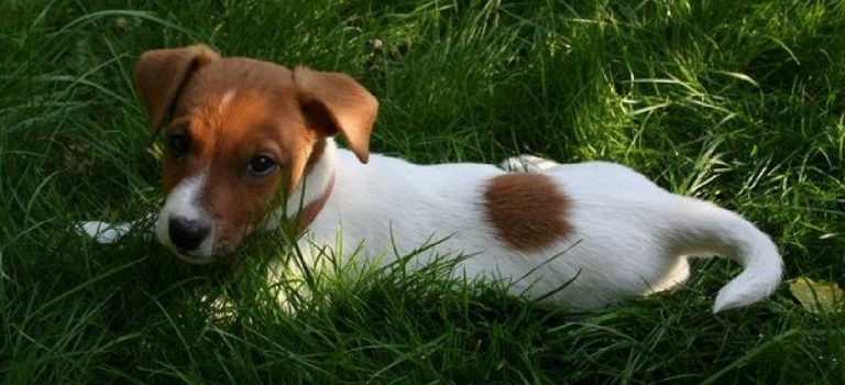 Why do Jack Russells' Eat Grass