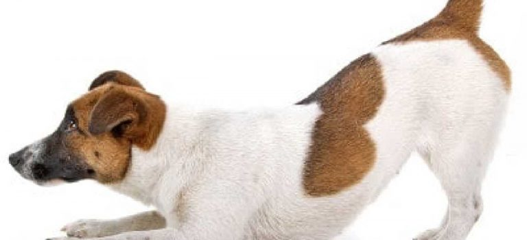 Why do Jack Russells shake