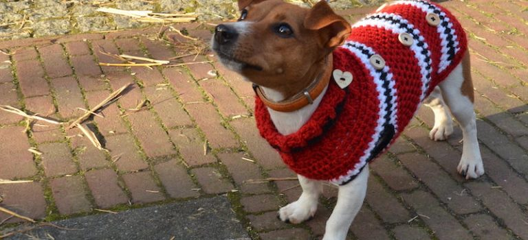 does my Jack Russell need a coat?